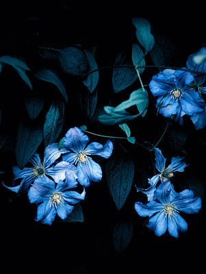 Photograph - Midnight Clematis by Rachel Mirror
