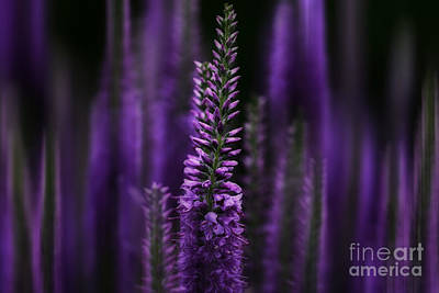 Hues Of Purple Photograph - Midnight In Purple by Rachel Cohen