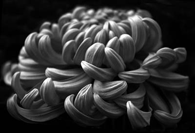 Detail Floral Photograph - Midnight Mum by Jessica Jenney