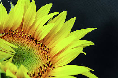 Photograph - Midnight Sunflower by Steven Bateson