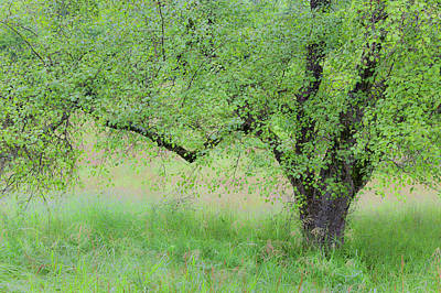 Photograph - Midsummer Apple Tree by Alan L Graham