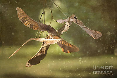 Photograph - Midsummer Maple Keys by Nina Silver
