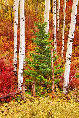 Photograph - Midwest Birches by Leda Robertson
