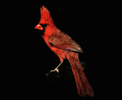 Photograph - Midwestern Cardinal by Dennis Buckman