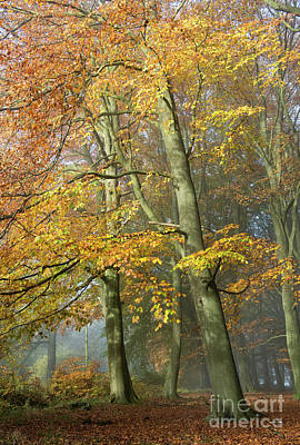 Photograph - Mighty Beech by Tim Gainey