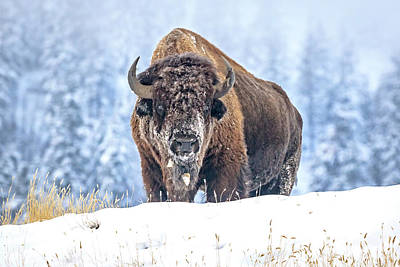 Photograph - Mighty Bison In The Snow by Jack Bell