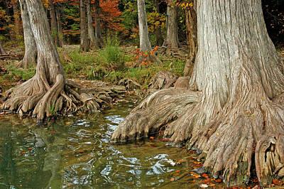 Photograph - Mighty Cypress by Robert Anschutz