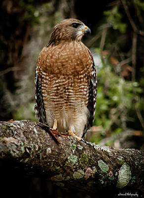 Photograph - Redtail Hawk  by Debra Forand