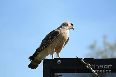 Photograph - Mighty Hawk by Carol Groenen