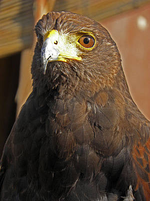 Photograph - Mighty Hawk by Elizabeth Hoskinson