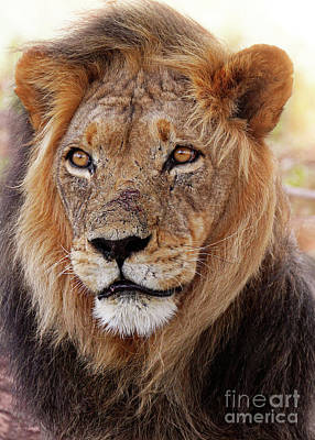 Photograph - Mighty Lion In South Africa by Wibke W