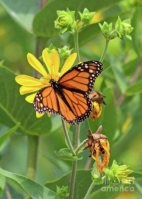Photograph - Mighty Monarch   by Paula Guttilla