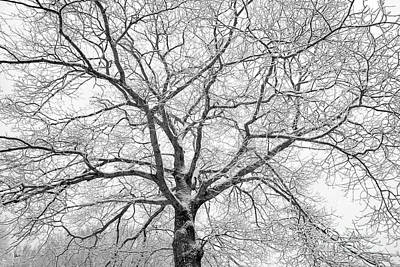 Photograph - Mighty Oak by Alana Ranney