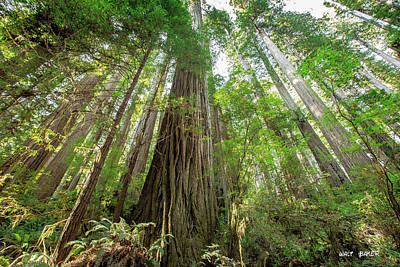 Photograph - Mighty Redwood by Walt Baker