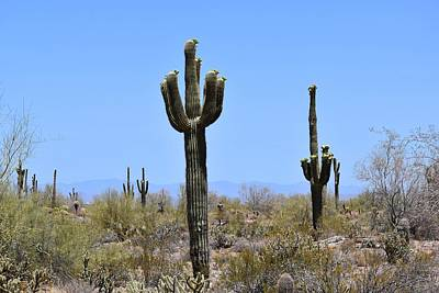 Photograph - Mighty Saguaros 1 by Nina Kindred