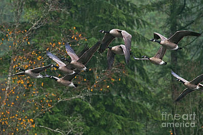 Photograph - Migrating Canada Geese by Sharon Talson