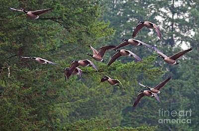 Photograph - Migrating Geese 2 by Sharon Talson