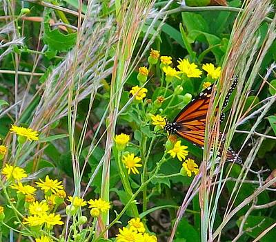 Photograph - Migrating Monarch by Betty Buller Whitehead