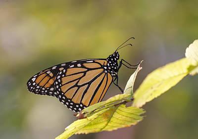 Photograph - Migrating Monarch by Jim Zablotny