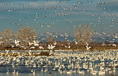 Photograph - Migrating Snow Geese In Winter by Kathleen Bishop