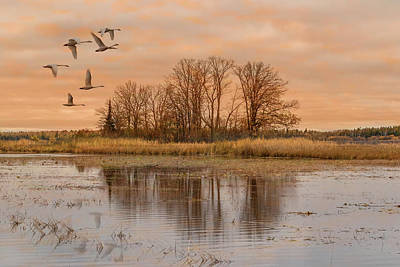 Photograph - Migrating Swans With Sunrise by Patti Deters