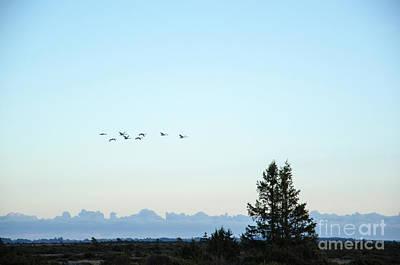 Photograph - Migrating Whooper Swans by Kennerth and Birgitta Kullman
