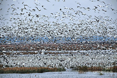 Photograph - Migration Of The Snow Goose by Elizabeth Winter