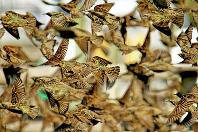 Frenzy Photograph - Migration Of The Starlings by Geraldine Scull