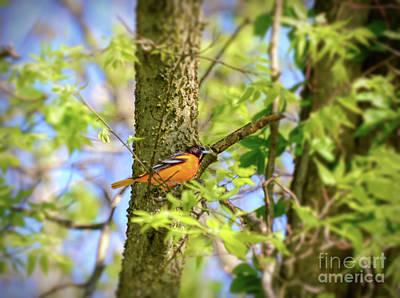 Oriole Photograph - Migratory Birds - Baltimore Oriole by Kerri Farley