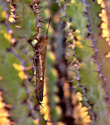Wildlife Photograph - Migratory Locust  by Stacie Gary