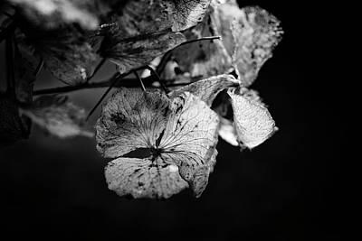 Photograph - Miguel's Hydrangea 2 by Karen Stahlros