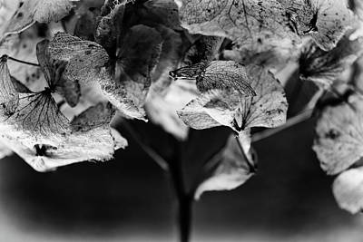 Photograph - Miguel's Hydrangea 3 by Karen Stahlros