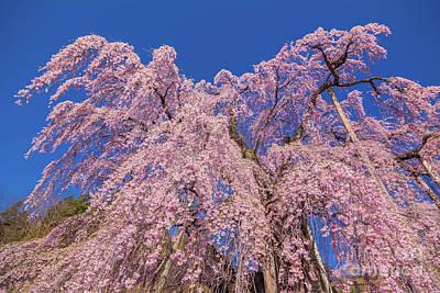 Photograph - Miharu Takizakura Weeping Cherry30 by Tatsuya Atarashi