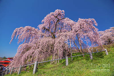 Photograph - Miharu Takizakura Weeping Cherry0565 by Tatsuya Atarashi