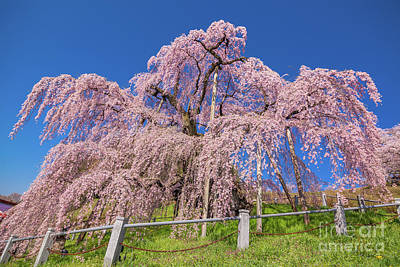 Photograph - Miharu Takizakura Weeping Cherry31 by Tatsuya Atarashi
