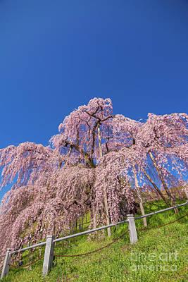 Photograph - Miharu Takizakura Weeping Cherry32 by Tatsuya Atarashi