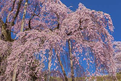 Photograph - Miharu Takizakura Weeping Cherry37 by Tatsuya Atarashi
