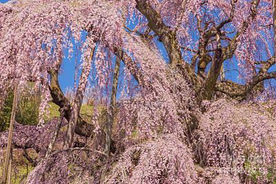 Photograph - Miharu Takizakura Weeping Cherry42 by Tatsuya Atarashi