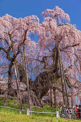 Photograph - Miharu Takizakura Weeping Cherry45 by Tatsuya Atarashi
