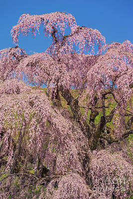 Photograph - Miharu Takizakura Weeping Cherry47 by Tatsuya Atarashi