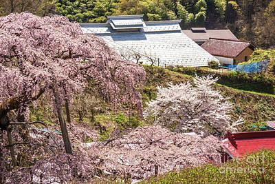 Photograph - Miharu Takizakura Weeping Cherry50 by Tatsuya Atarashi
