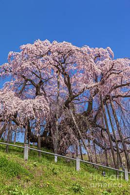 Photograph - Miharu Takizakura Weeping Cherry55 by Tatsuya Atarashi