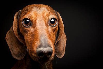Photograph - Mike The Dachshund by SR Green