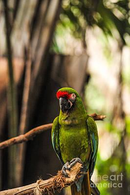 Military Macaw Original by Liesl Marelli