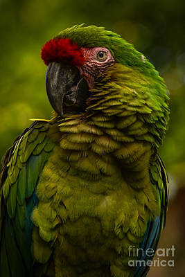 Macaw Photograph - Military Macaw by Zina Stromberg
