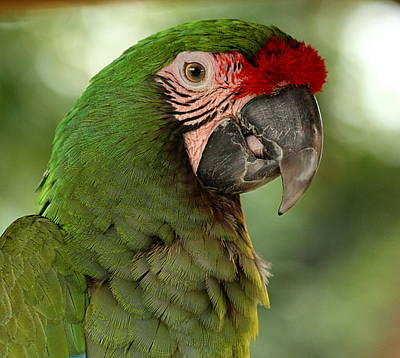 Photograph - Military Macaw by Sheila Brown