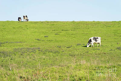 Print featuring the photograph Milk Cow At Point Reyes National Seashore California Dsc4882 by Wingsdomain Art and Photography