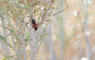 Photograph - Milkweed Bug  by Rick Mosher