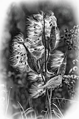 Milkweed - Bw Art Print by Steve Harrington