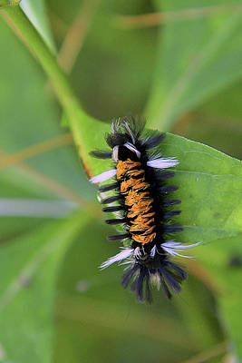 Photograph - Milkweed Caterpillar by Alan Lenk